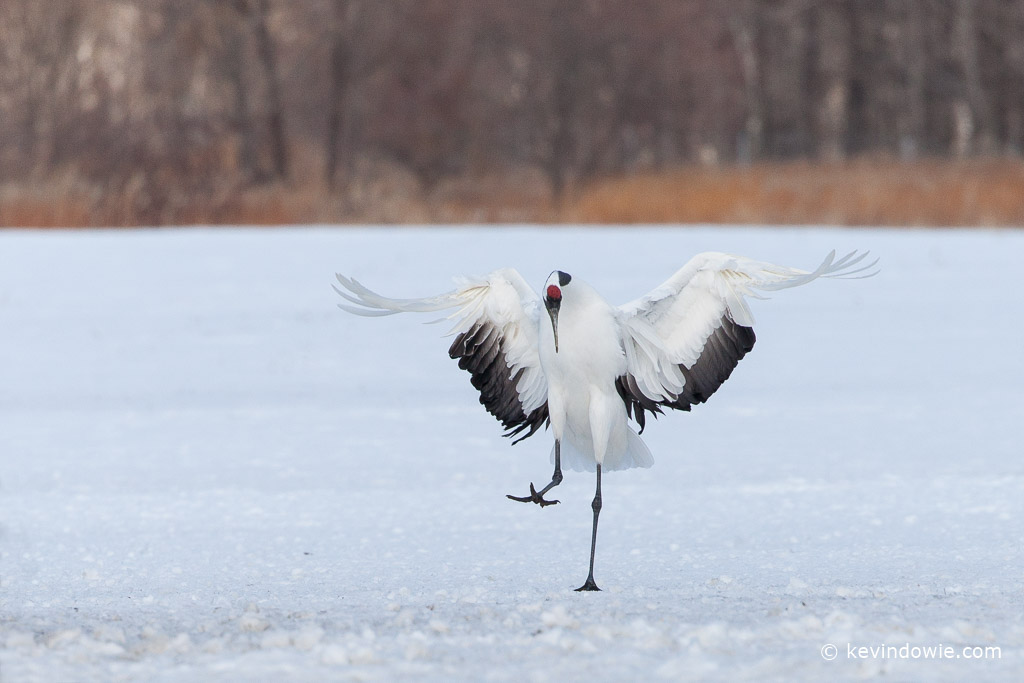 Red-crowned Crane landing.