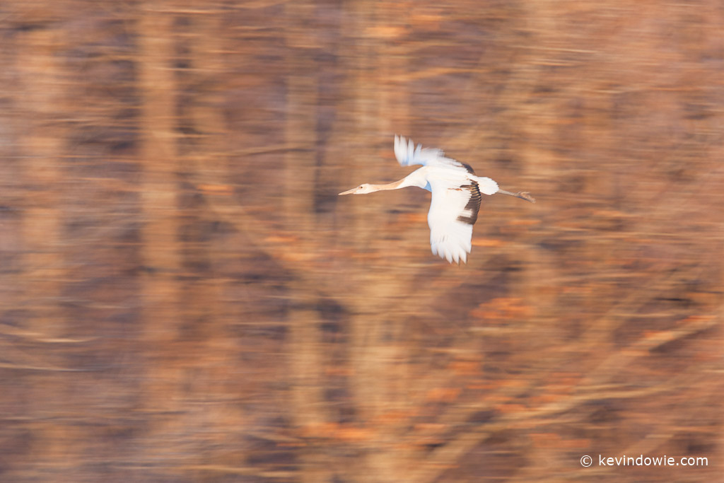 Juvenile Red-Crowned Crane in flight, Hokkaido, Japan
