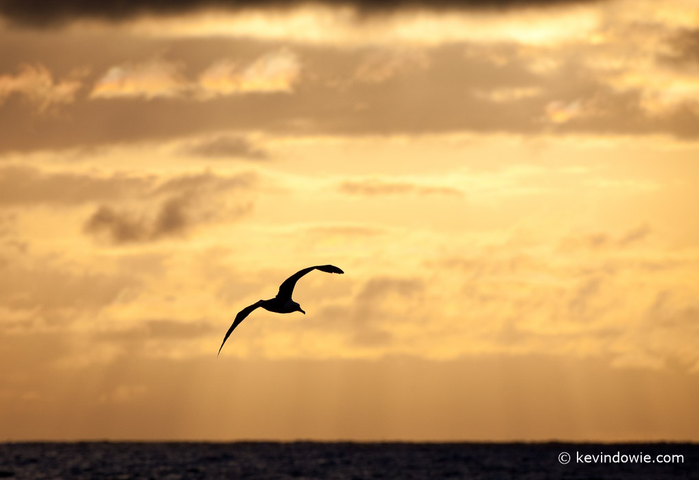 Silhouetted Albatross flying at sunset, Midway Atoll