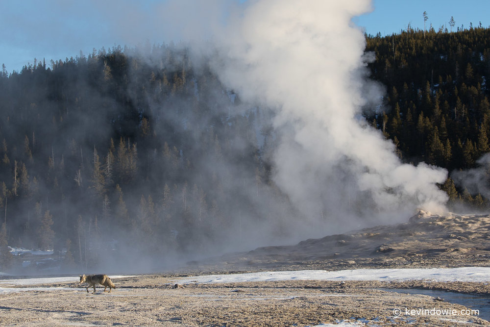 A last glance over his shoulder as he continues on his way, Old Faithful steaming in the background.