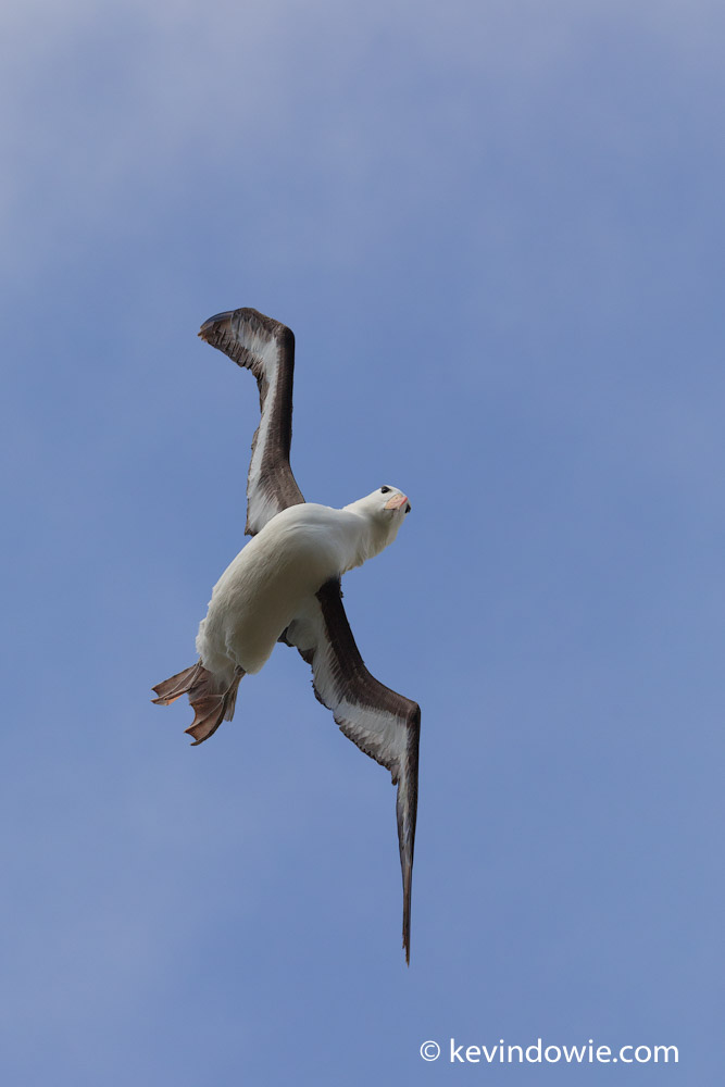 Albatross are remarkable and graceful fliers travelling enormous distances seemingly without effort, however when approaching the nesting colony some adjustments can be required to effect a safe landing!