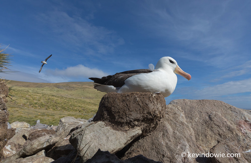 The albatross use raised nests constructed from mud, some of these nests are used over several seasons.