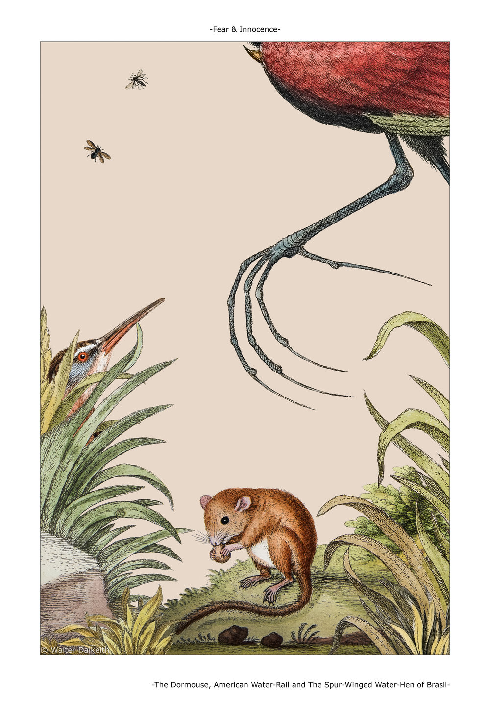 The Dormouse, American Water-Rail and The Spur-Winged Water-Hen of Brasil Main title.jpg