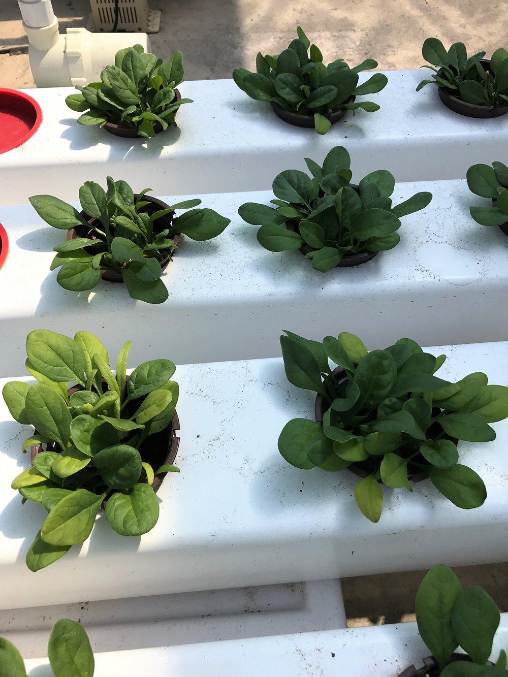 Spinach in Aeroflow.JPG