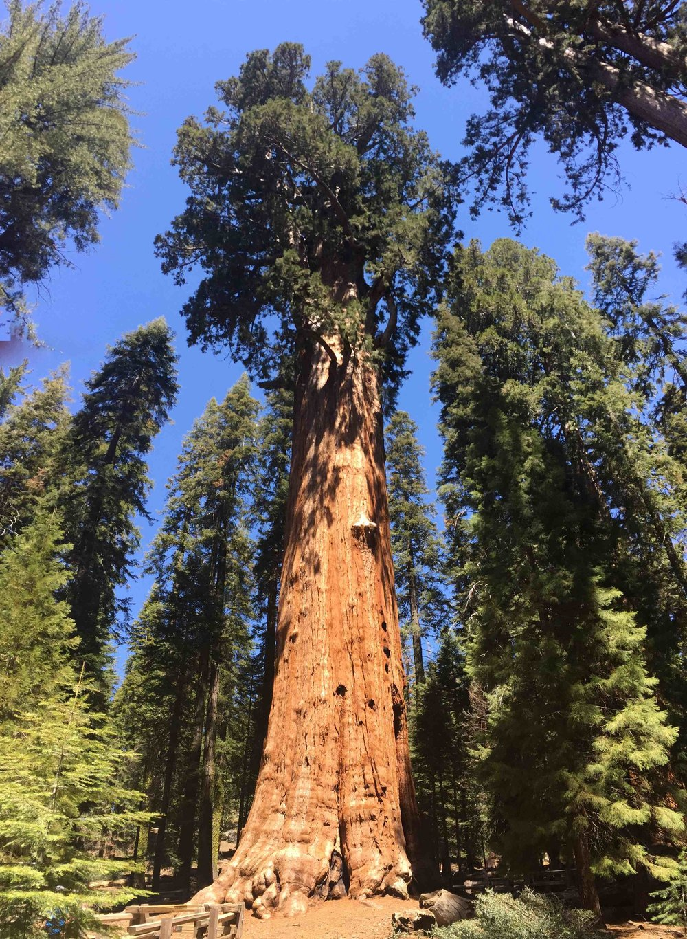 The venerable General Sherman -- the largest tree on Earth.