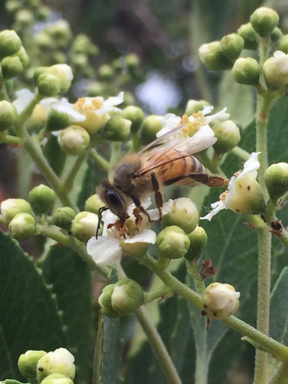 An  incomparable honeybee  at work -- pollinating.