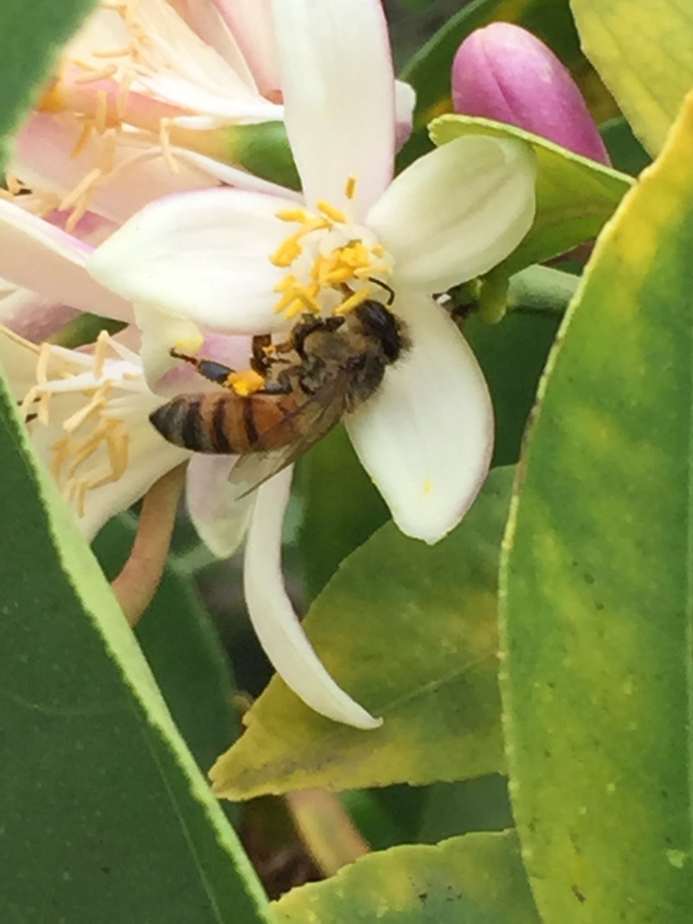 Honeybee Lemon Bloom - Dr Reese Halter.jpg