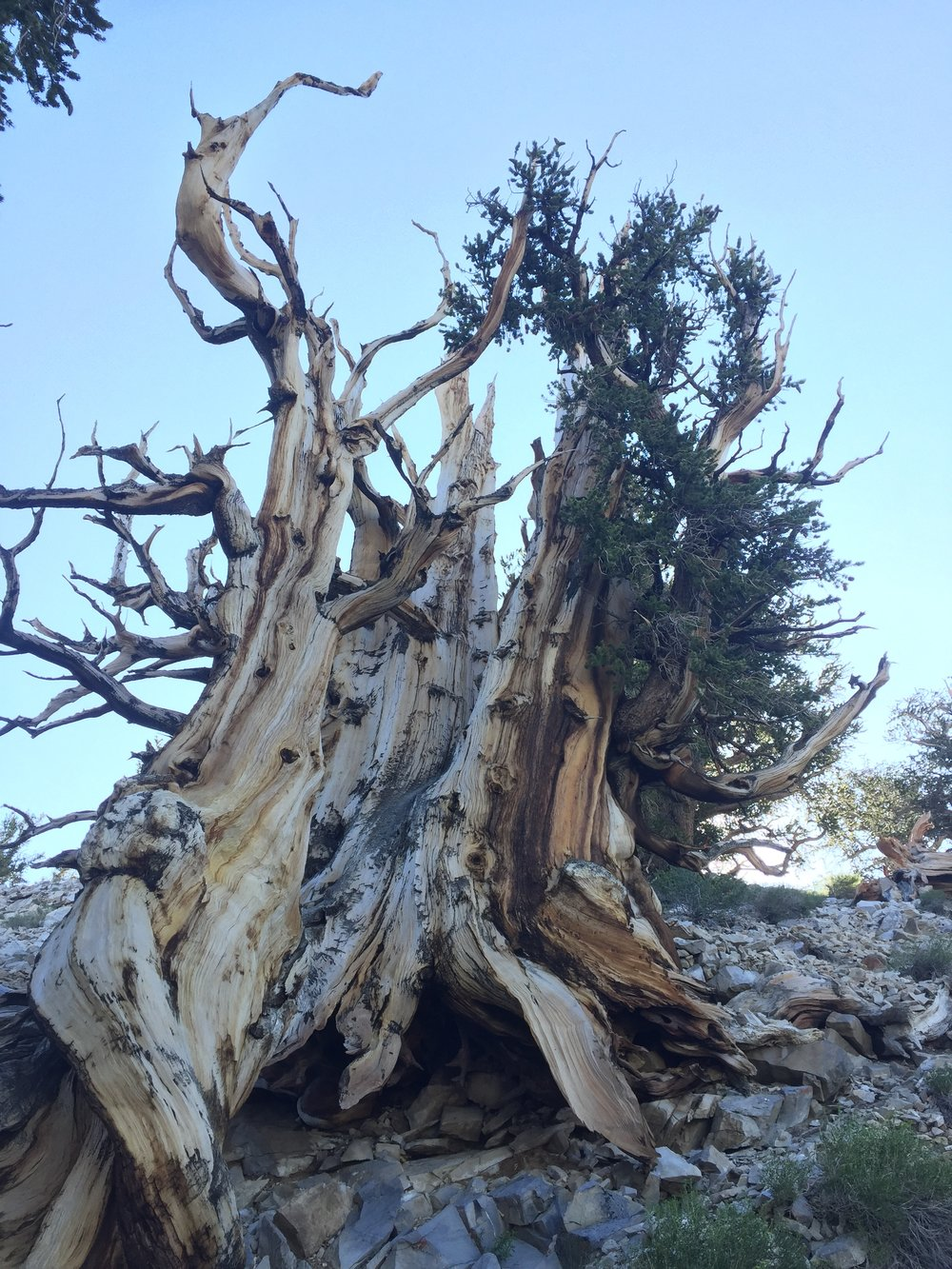 An Ancient One -- Great Basin Bristlecone pine -- 2 miles above Earth growing on 600 million year old Silurian dolomitic seafloor. These remarkable trees thrive on alkaline sediments. Ancient Ones eventually expire beyond 5,000 years because they outgrow the former Silurian seafloor. Unprecedented.