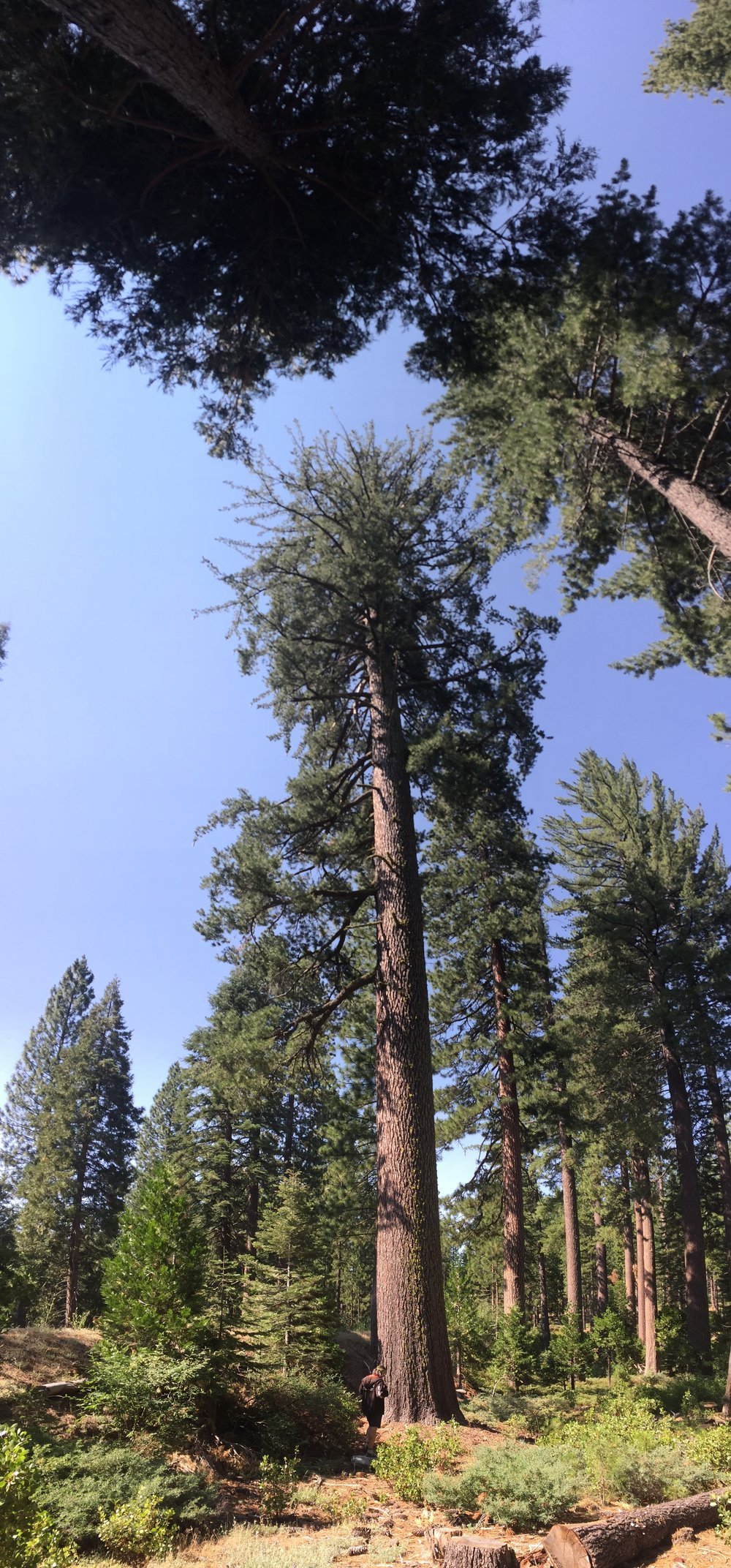 A glorious California Sugar pine -- the tallest of all the 111 pine species -- reaching almost 280 feet.