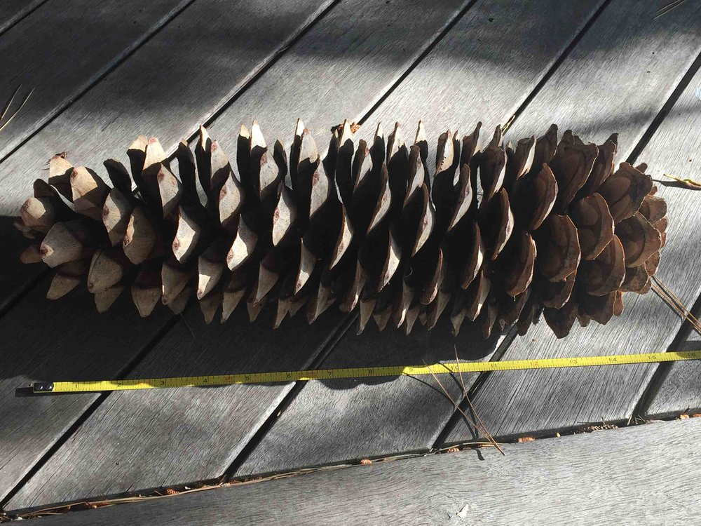 It takes two years and much nitrogen to grow these gigantic sugar pine cones, the longest of all pines. Its large seeds are a prized feast for many ground dwelling mammals. Twenty-four-inch long cones are not uncommon!