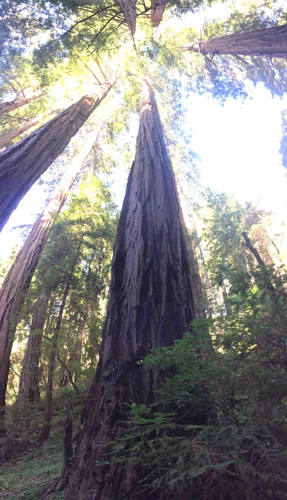 Young Redwoods - Reese Halter.jpg