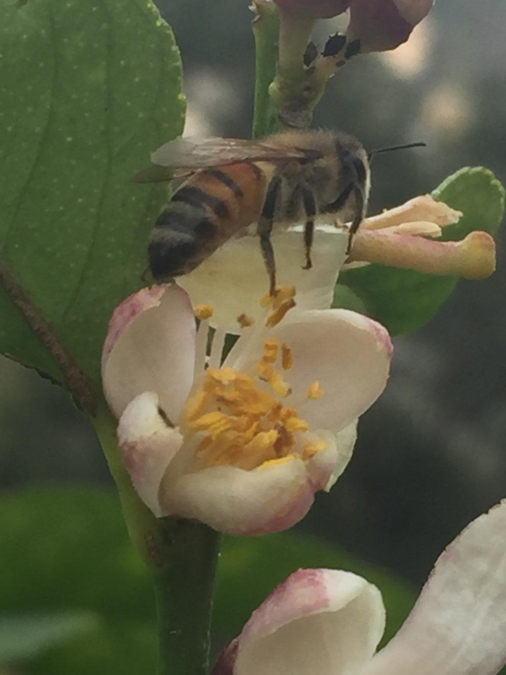 Honeybee Lemon Blosson - Reese Halter.jpg