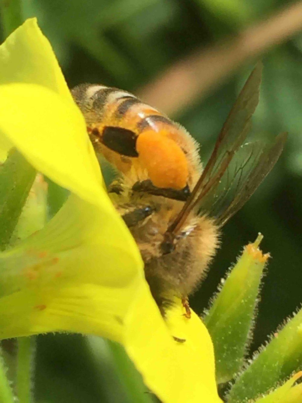 Honeybee - Dr Reese Halter 18 copy.jpg