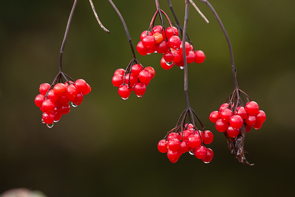 Highbush cranberries.jpg