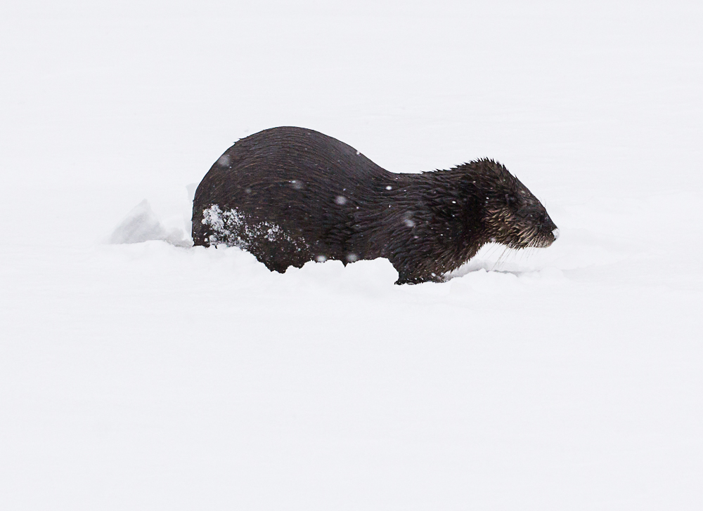 Otter in snow.jpg