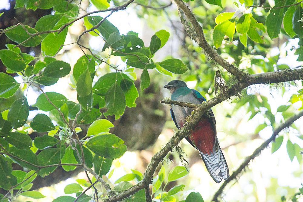 Female quetzal.jpg