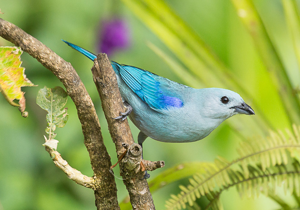 Blue-gray tanager.jpg