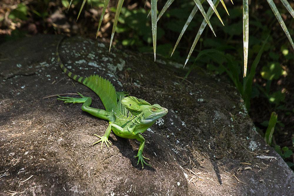 Green basilisk.jpg
