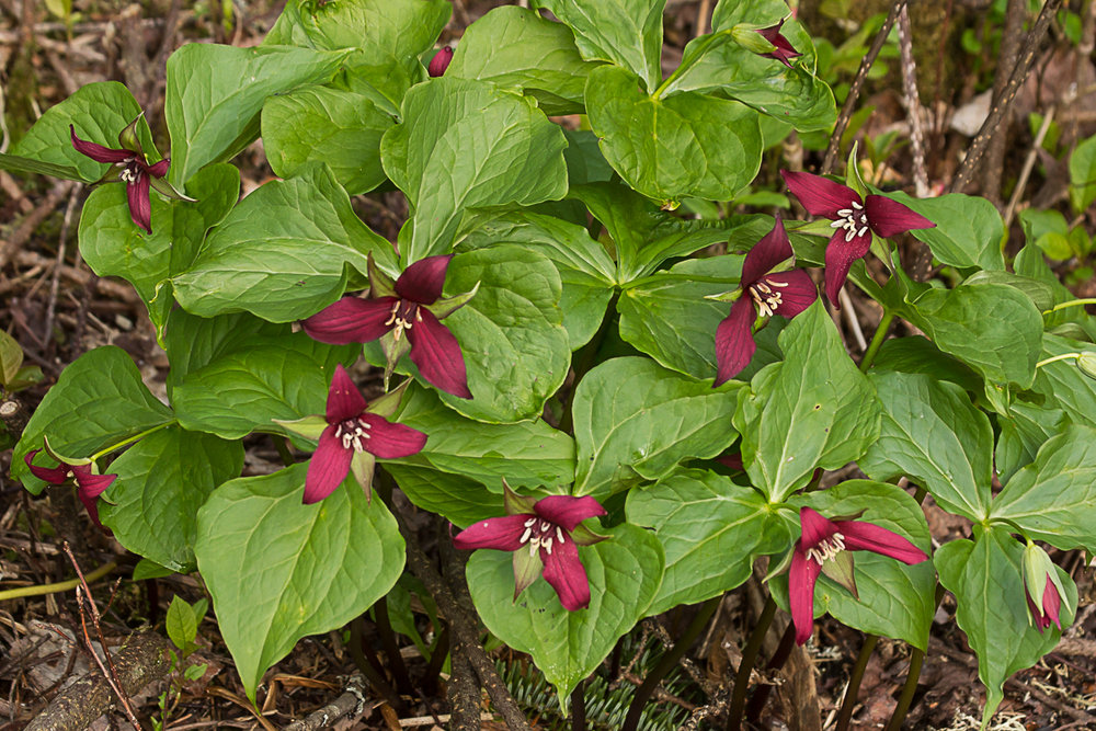 "Red trillium,    Trillium erectum ,  also known as ""stinking Benjamin"" and ""wet dog"""