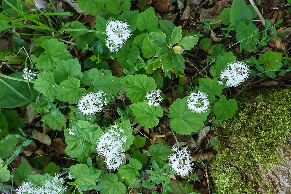 Foam-flower,  Tiarella cordifolia