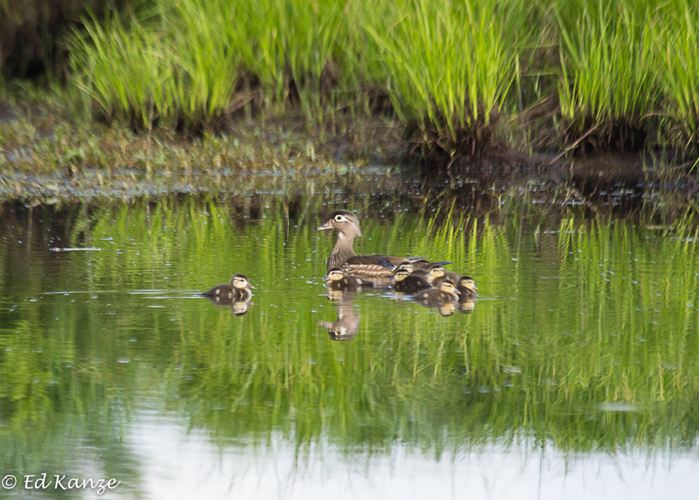 A mother wood duck and ducklings, much more secretive than the mergansers.