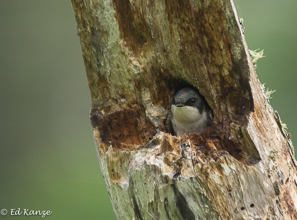 A mother tree swallow, guarding her brood in a nest in a tree hollow. The trunk stands beside the marsh.