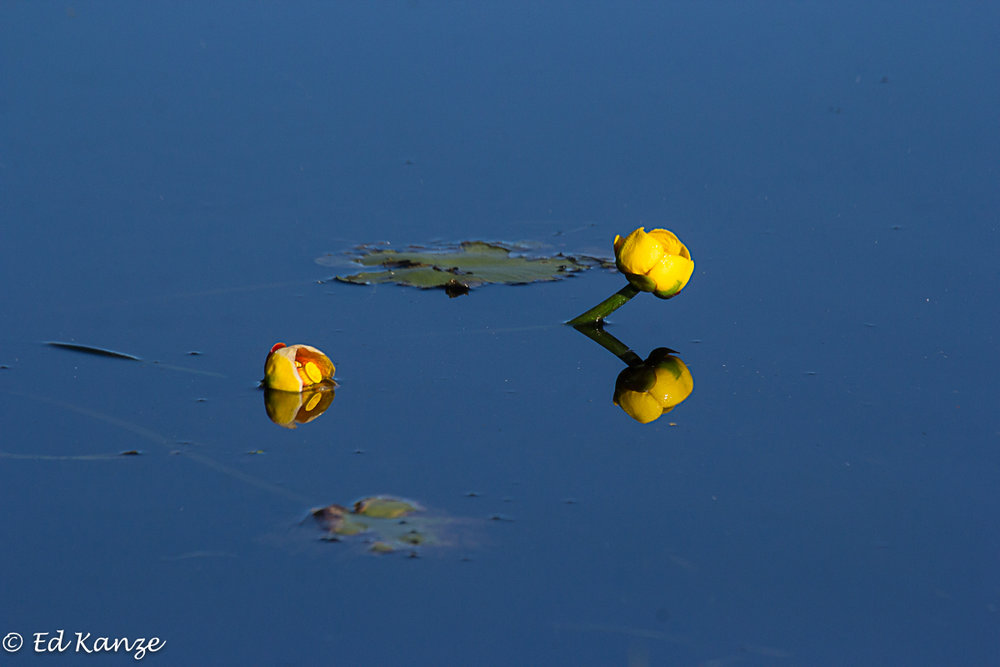 Yellow water-lilies in bloom, their stems rising out of the pond's mucky bottom.
