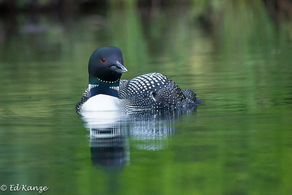 Loon portrait 2.jpg