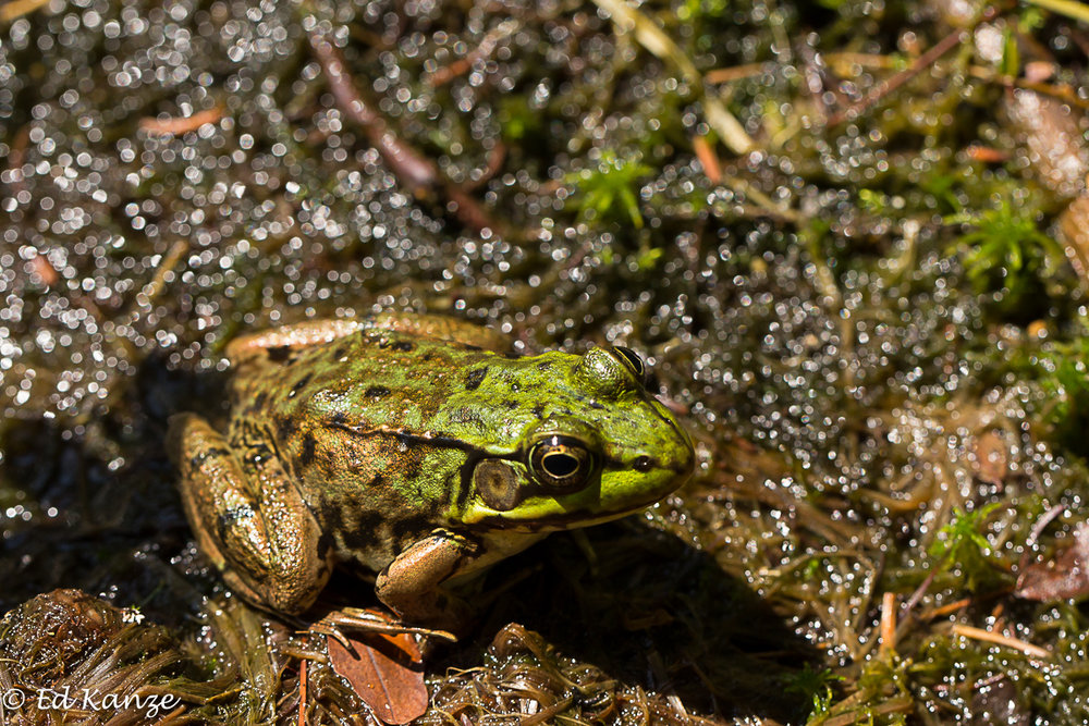 Green frog 2 with signature.jpg