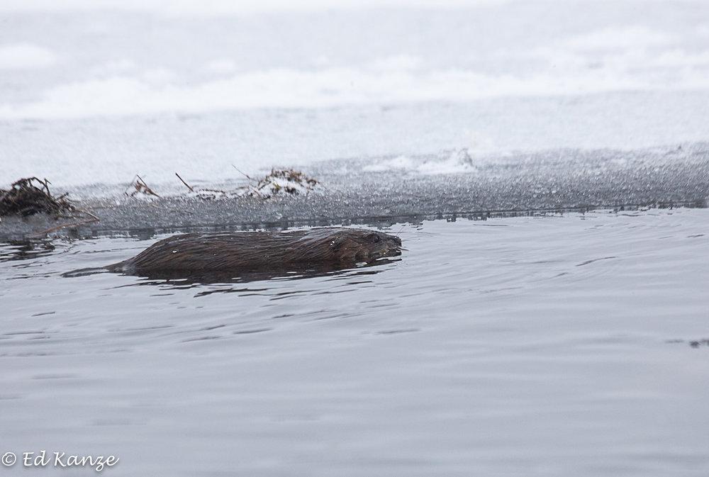 Muskrat swimming.jpg