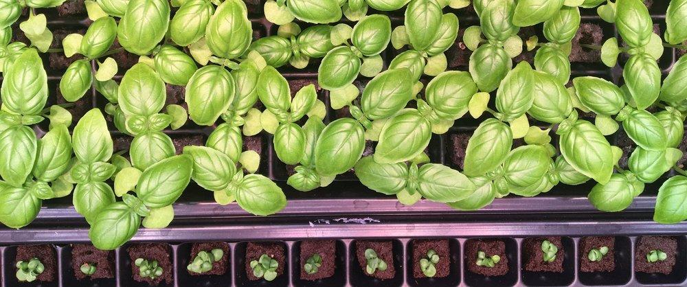 10. Farmshelf Green Basil Top View Picture.JPG