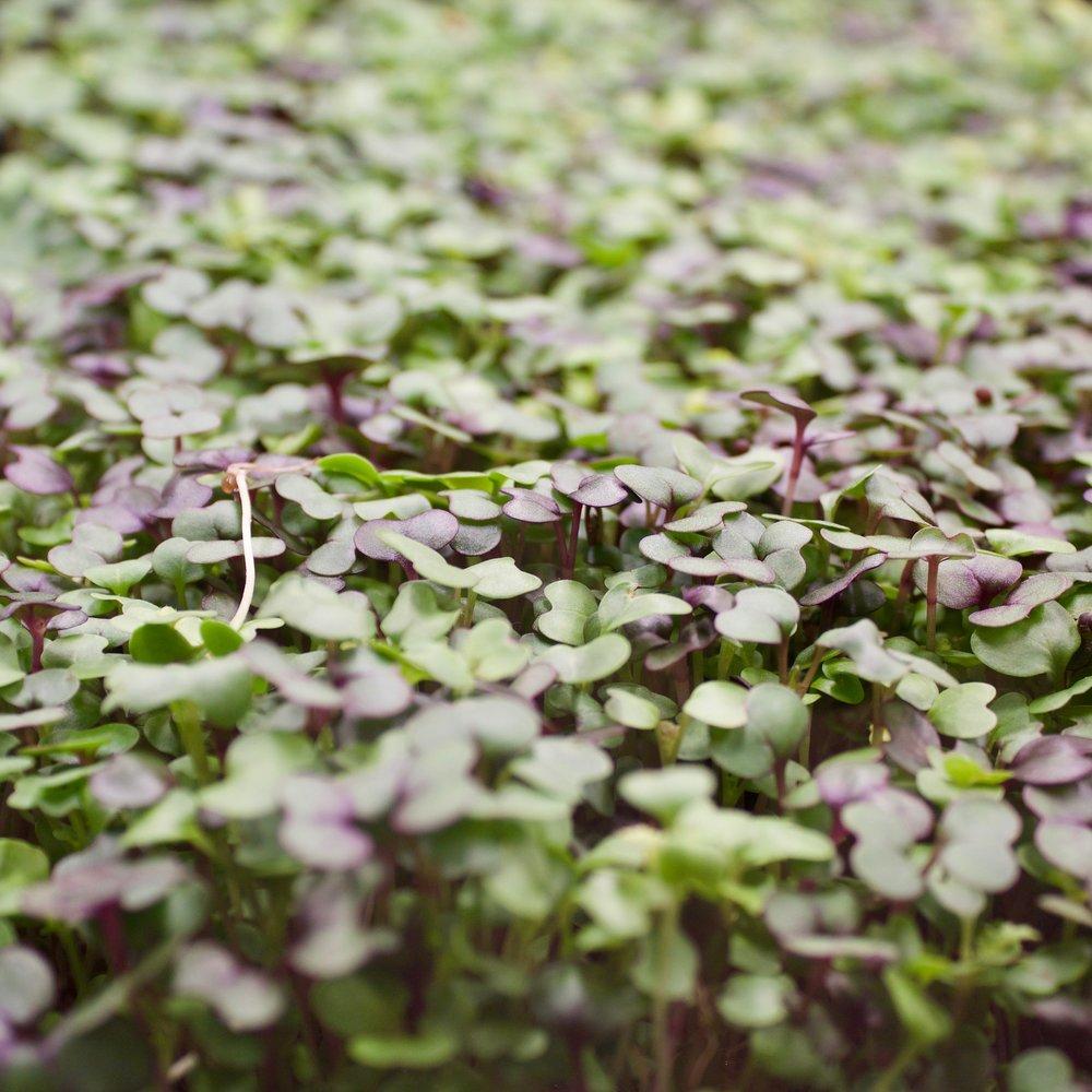 8. Farmshelf Microgreen close up.jpg