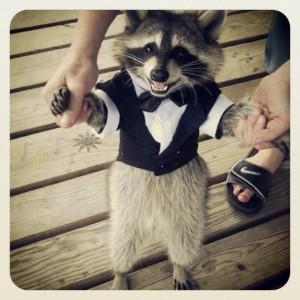 Raccoon Tuxedo