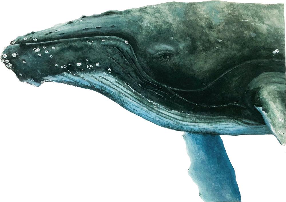Humpback Whale - Commission