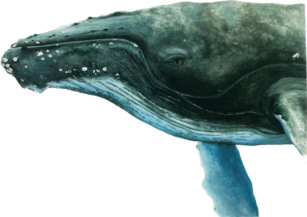 Humpback Whale, Commission
