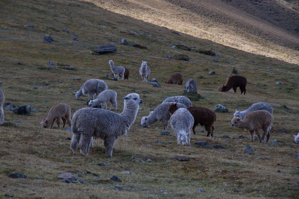 alpacas-in-peru-lares-trek-inertia-network-travel.jpg