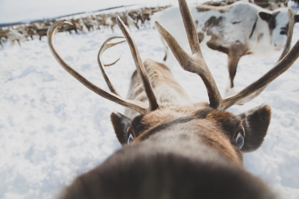 A curious reindeer gets a little too close. Ichinskiy District, Kamchatka, Russia. Photo: Robyn Penn.