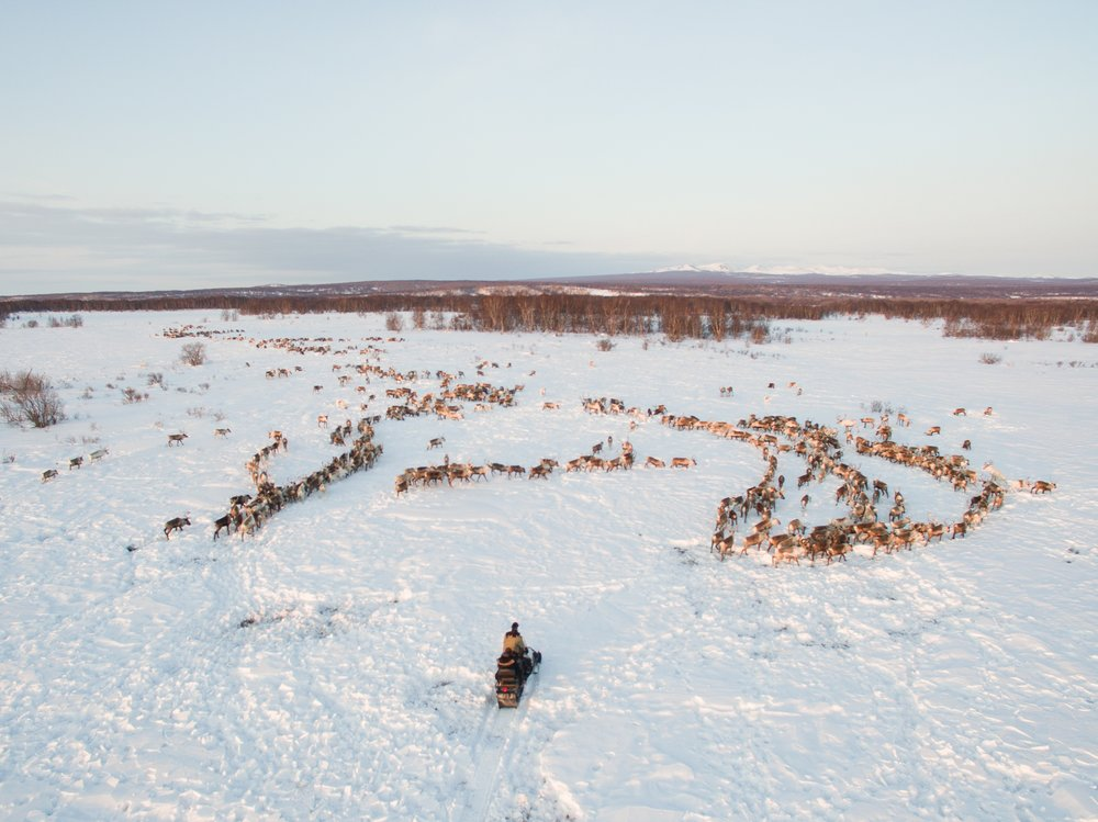 A snowmobile slowly approaches a herd of reindeer. Photo: Karim Iliya.