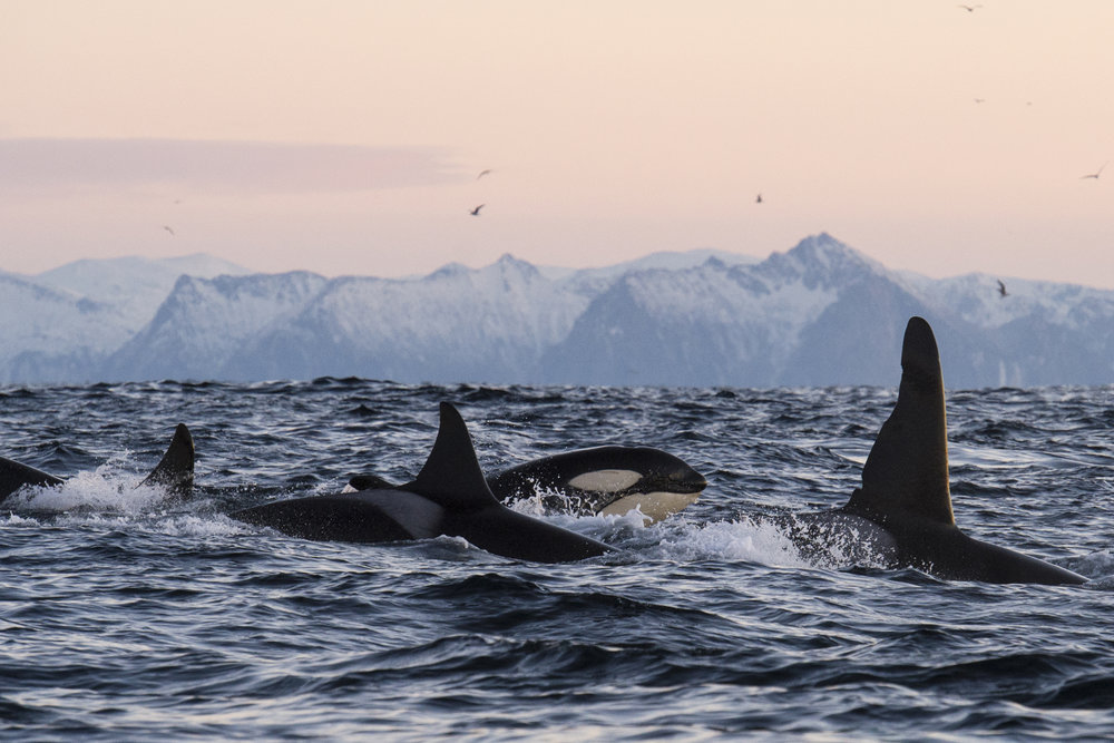 lofoten-islands-norway-swim-with-orcas-and-humpbacks-inertia-network.jpg