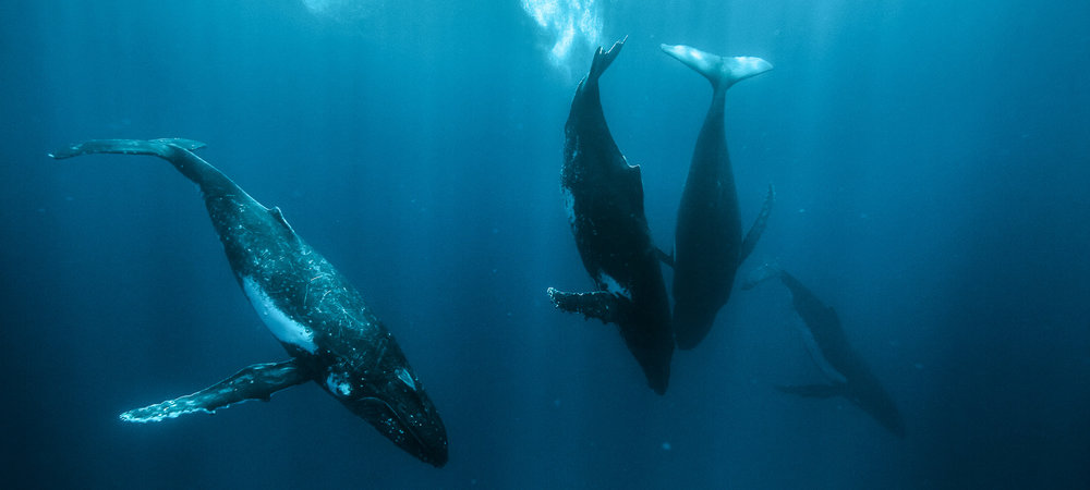 KARIM_ILIYA_Whales_humpback_underwater_dancing_swim_animal_whale_Tonga_dive-11-4.jpg