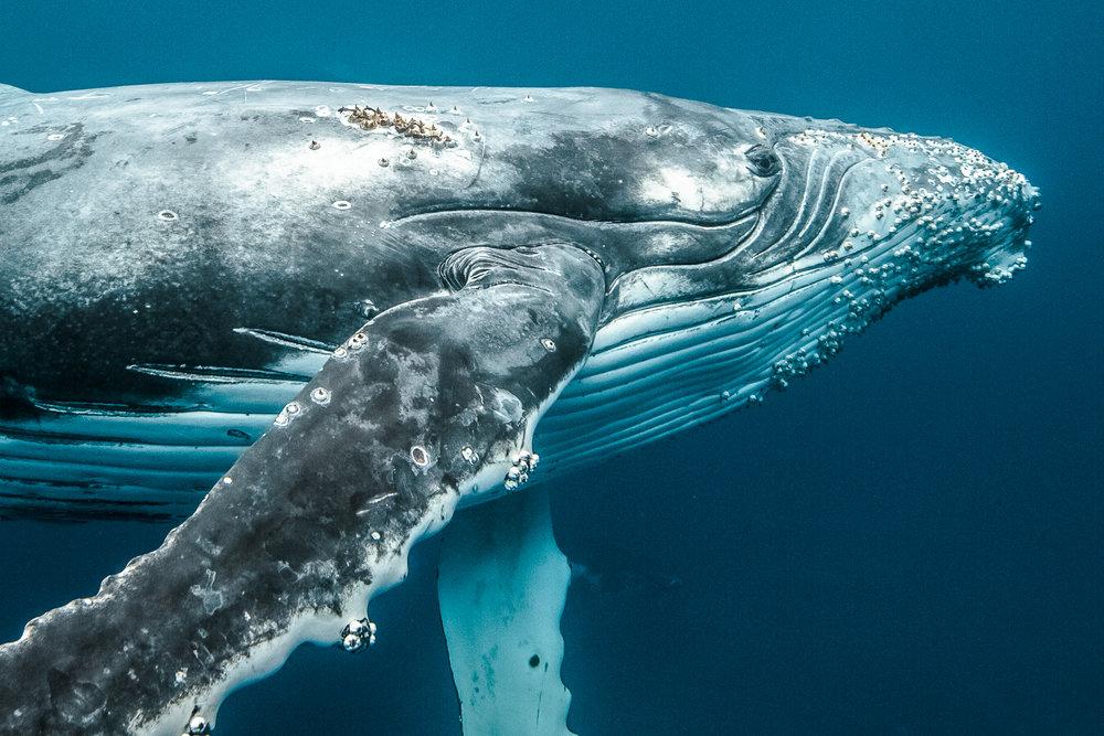 KARIM_ILIYA_Whales_humpback_underwater_dancing_swim_animal_whale_Tonga_dive-11-3.jpg