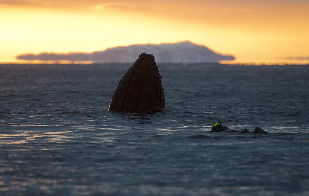 Snorkeling towards a humpback at dusk.
