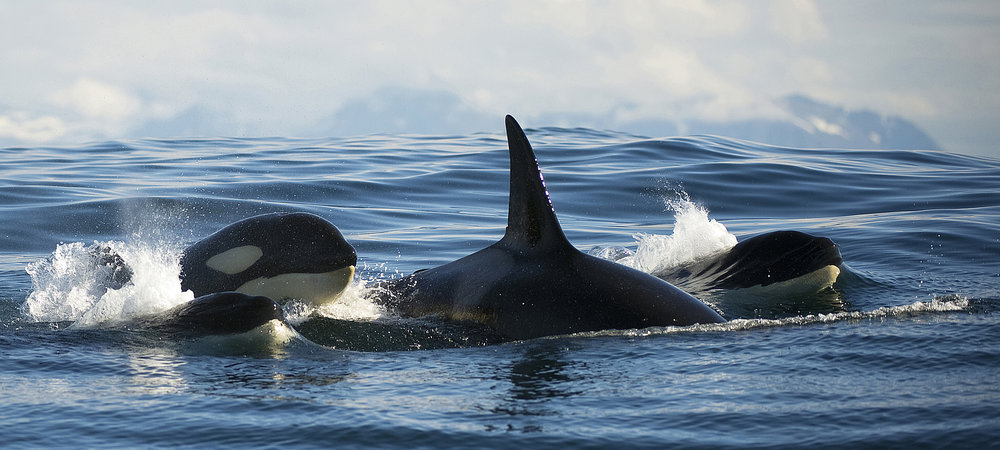 orcas-small-long-norway.jpg