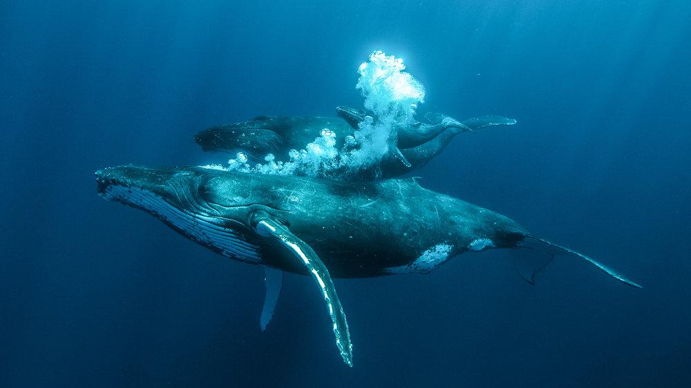 tonga-whale-swimming-trek-with-karim-iliya.jpg