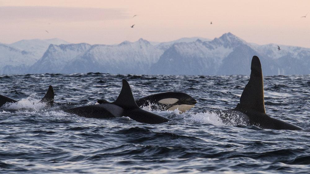 lofoten-islands-norway-swim-with-orcas-and-humpbacks-inertia-network-long.jpg