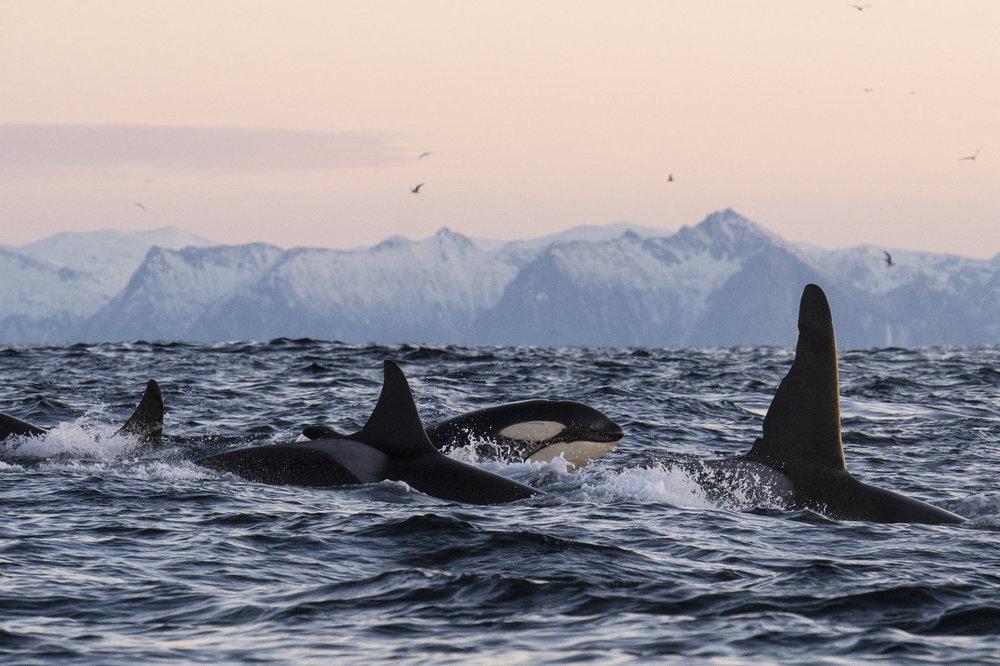 norway-orcas-the-herring-run-underwater-with-karim-iliya.jpg