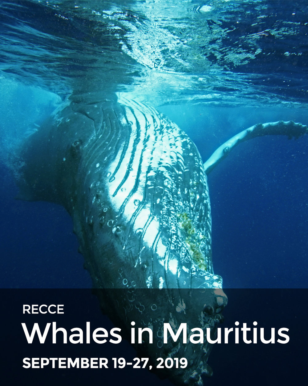 swim-with-whales-mauritius-humpback-whales-sperm-whales-freediving-inertia-network.jpg