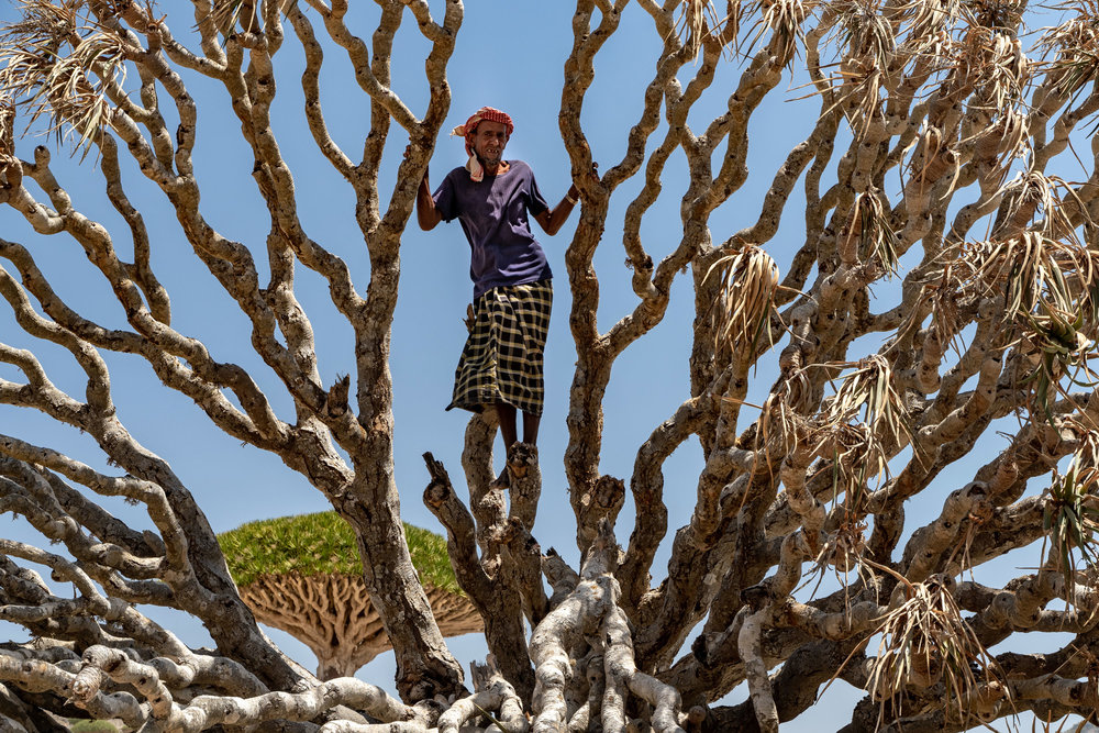 Nur, a Socotri bedouin goat herder from the Haggier Mountains stands within a toppled (dead) Dragon's Blood Tree in the Firhmin Forest of central Socotra. A live tree can be seen in the background. The branches are spongy, fibrous and brittle.