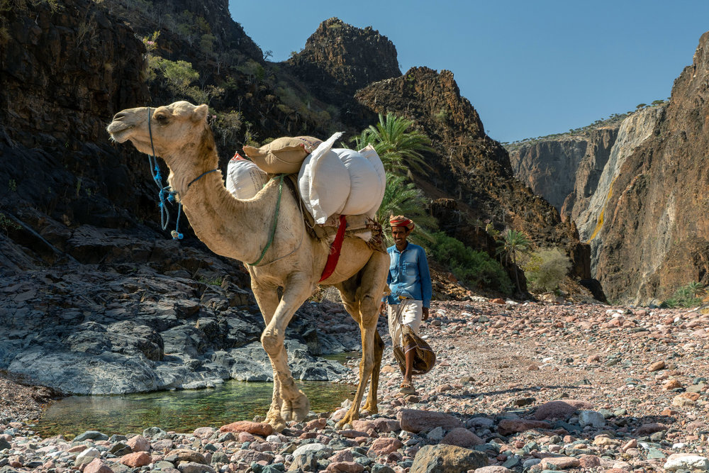 A local villager leads his supply camel to a watering hole in the Derhur Canyon in central Socotra's Haggier Mountains. This region, where the last roads were washed away by cyclones in 2014 and 2016, is only accessible by foot, so camels provided a much needed way of moving materials and supplies to remote communities in the mountains.