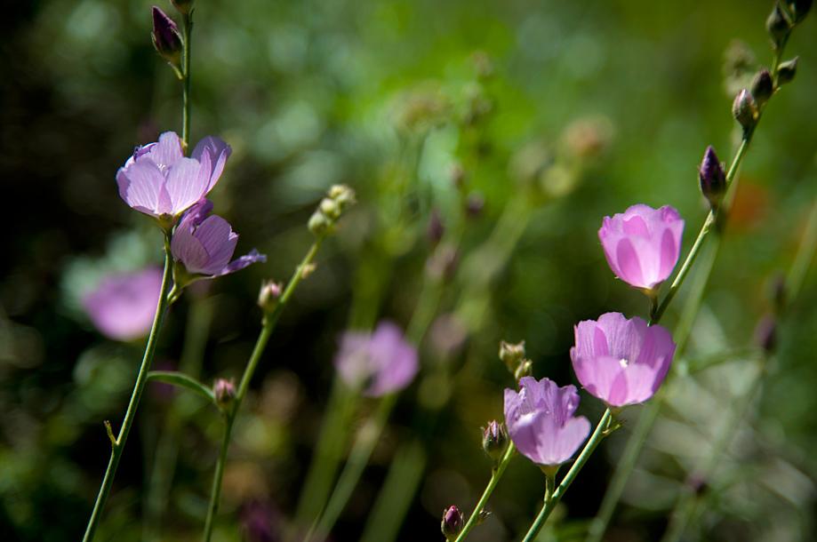 Checker Bloom | Sidalcea glaucescens